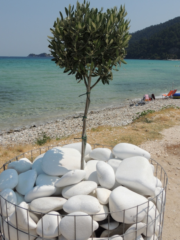 Olive tree in Thassos